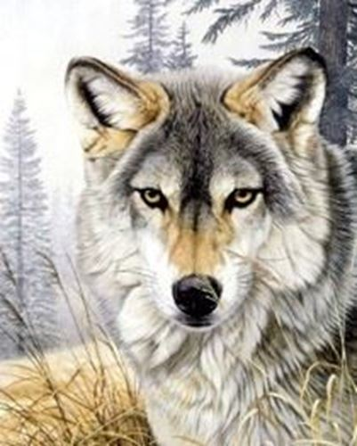 Picture of Wolf Gaze