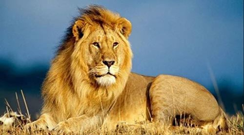 Picture of Lion!