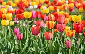 Picture of Autumn Tulips