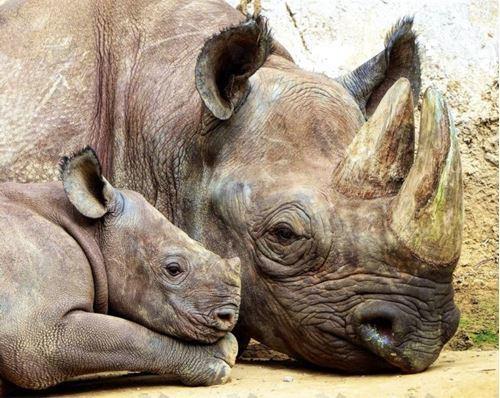 Picture of Bonding Rhinos