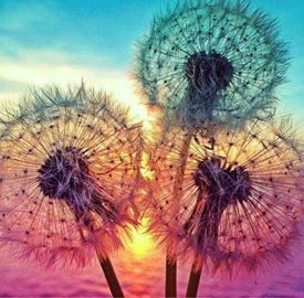 Picture of Dandelions