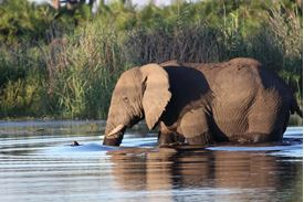 Picture of Elephant in Water